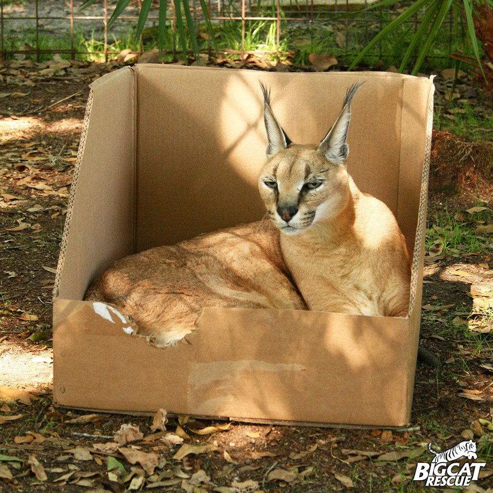 dreamy eye cuteness blog big cats like boxes too video. Black Bedroom Furniture Sets. Home Design Ideas