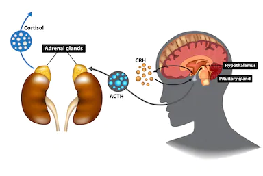 Adrenal Axis-Stress