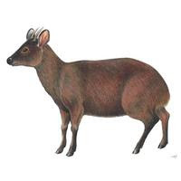Ciervo enano (Pudu mephistophiles)