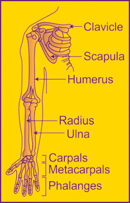 Fore limbs in Skeleton system