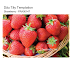 Dâu Tây Temptation ( Strawberry- Fragaria ananassa - FRA00147 )