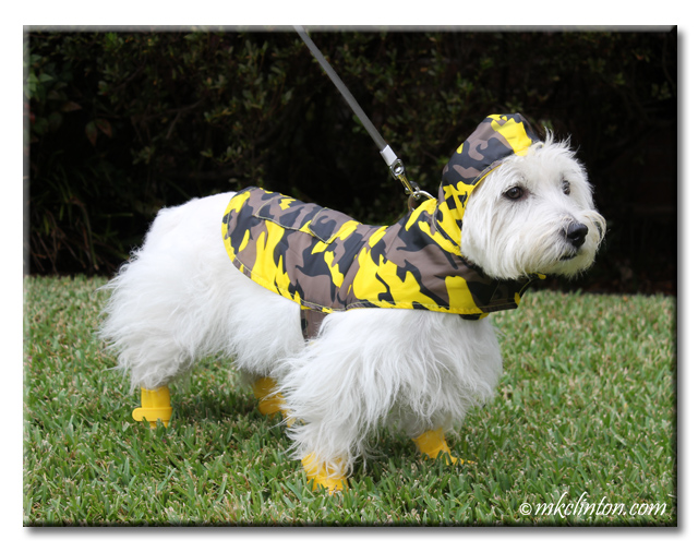 Pierre Westie styling in his Jelly Wellies raincoat and boots.