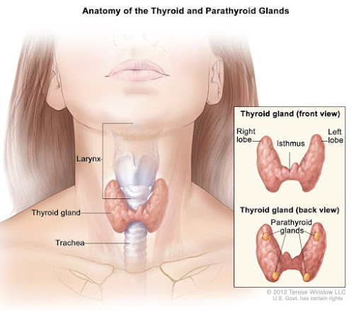 Thyroid hormone production is regulated by TSH secreted by the anterior pituitary