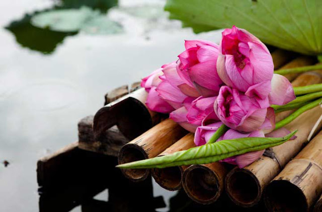 Lotus flowers - West Lake udic - Pink Lotus, Lotus In West Lake – A Hanoi Symbol