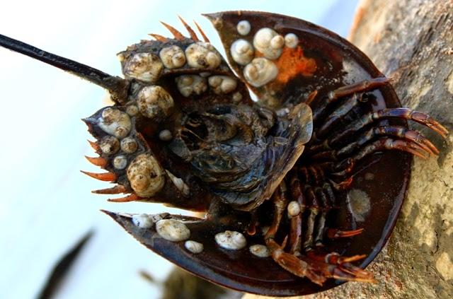 Badan kepiting mangrove horseshoe crab berada di bawah cangkangnya