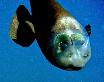 Barreleye top