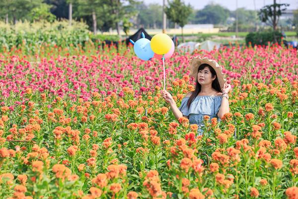 彰化北斗興農路雞冠花田,彩色繽紛雞冠花海就像雞冠頭,免費參觀