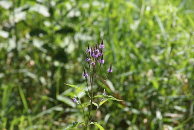 Blue Vervain blooming
