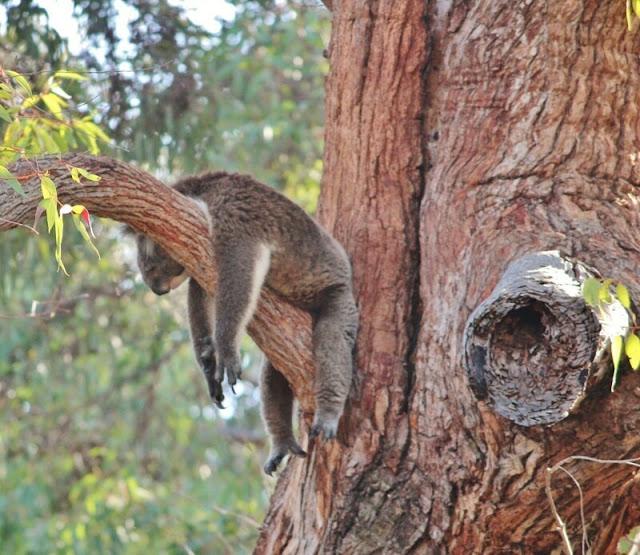 Los koalas duermen hasta 22 horas al día