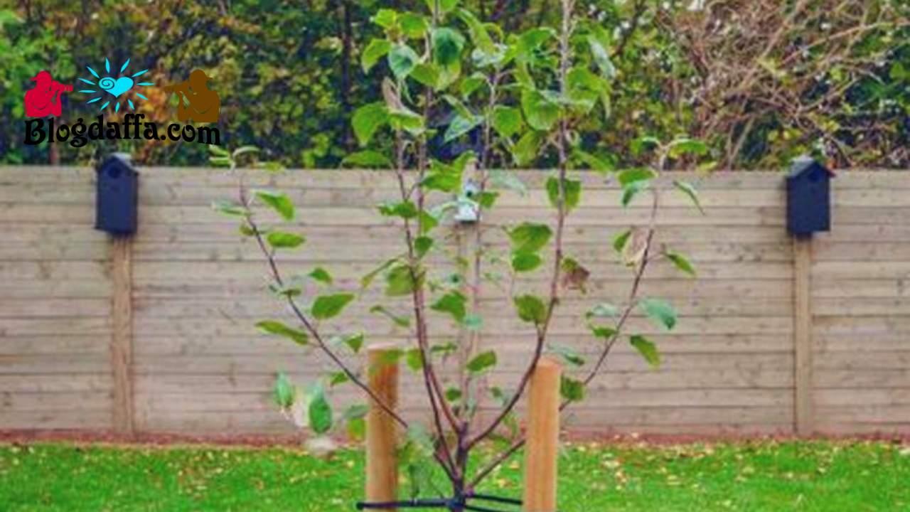 Pasang Pasak agar pohon tidak roboh