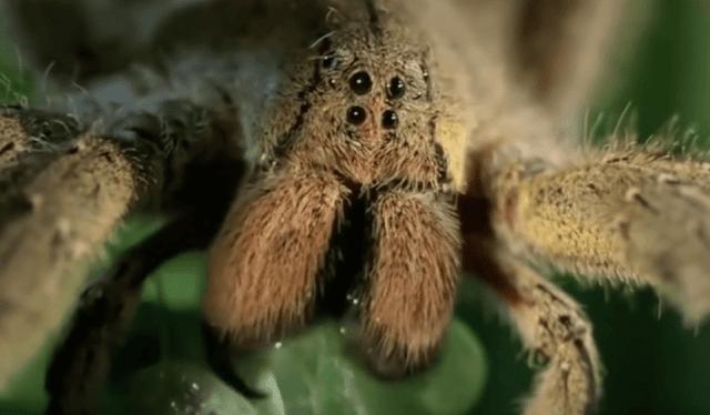 العنكبوت البرازيلي الجوال