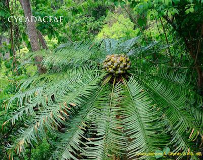 ปรง Cycad ในประเทศไทย ปรงมีกี่ชนิด พันธุ์ต่างๆ