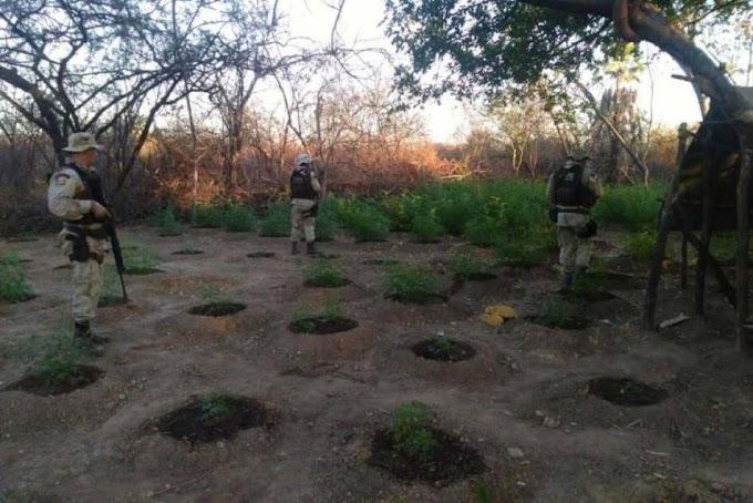 Polícia erradica mais de 1200 pés de maconha em Xique-Xique