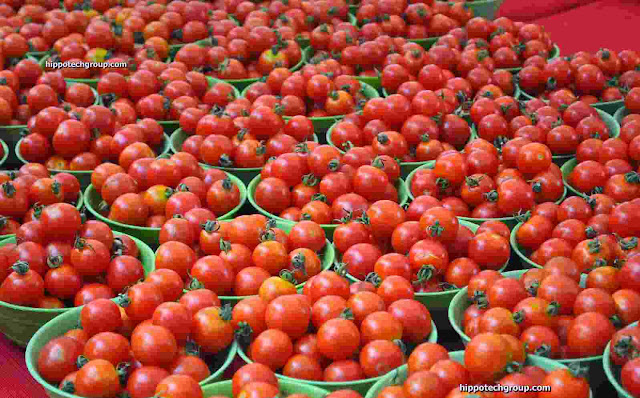 Tomato Farming Business