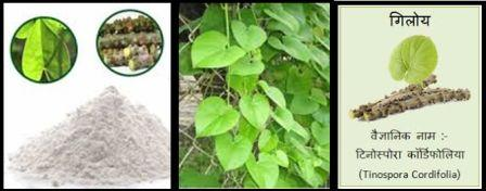 गुणों की खान गिलोय के फायदे रोगों में इसका प्रयोग और निषेध