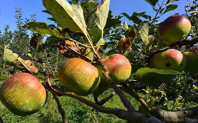 Apel jenis Manalagi dan Rumbiuti tumbuh subur
