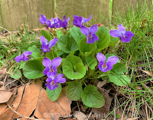 Our Illinois State Flower the Violet. Image courtesy of Cheryl Rausch.