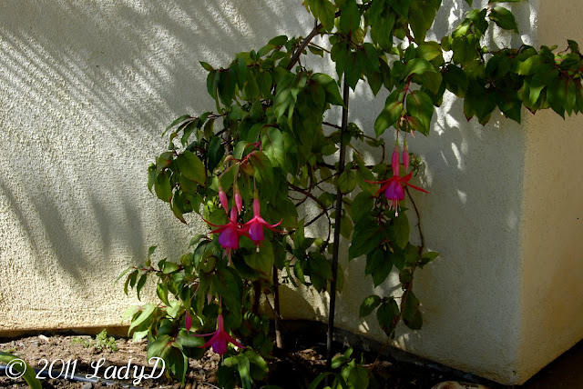 Fuchsia Plant in Bloom: LadyD Books