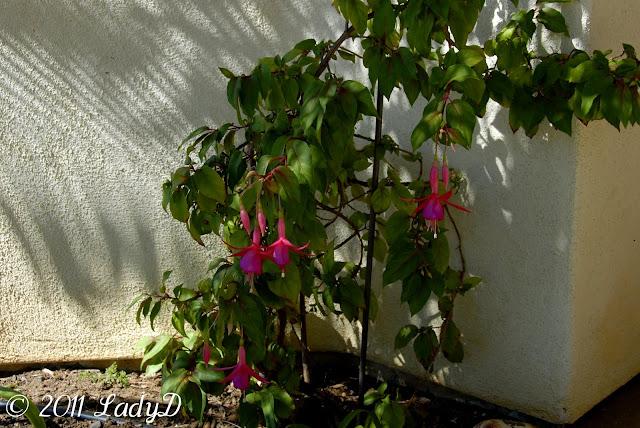 Fuchsia Plant in Bloom: LadyD Books