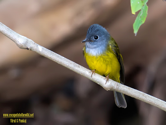 Grey-headed Canary Flycatcher | Escape into the wild