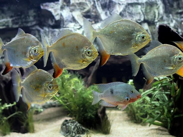 Gambar Ikan Silver Dollar