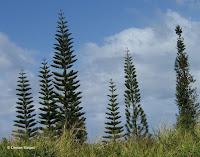 Cook pines, Norfolk pines are similar - Maui, HI