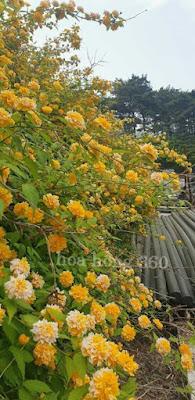 hình ảnh cây hoa hồng tầm xuân vàng