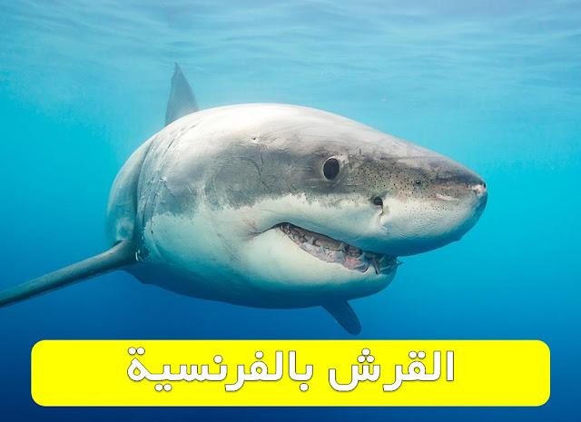 القرش بالفرنسية