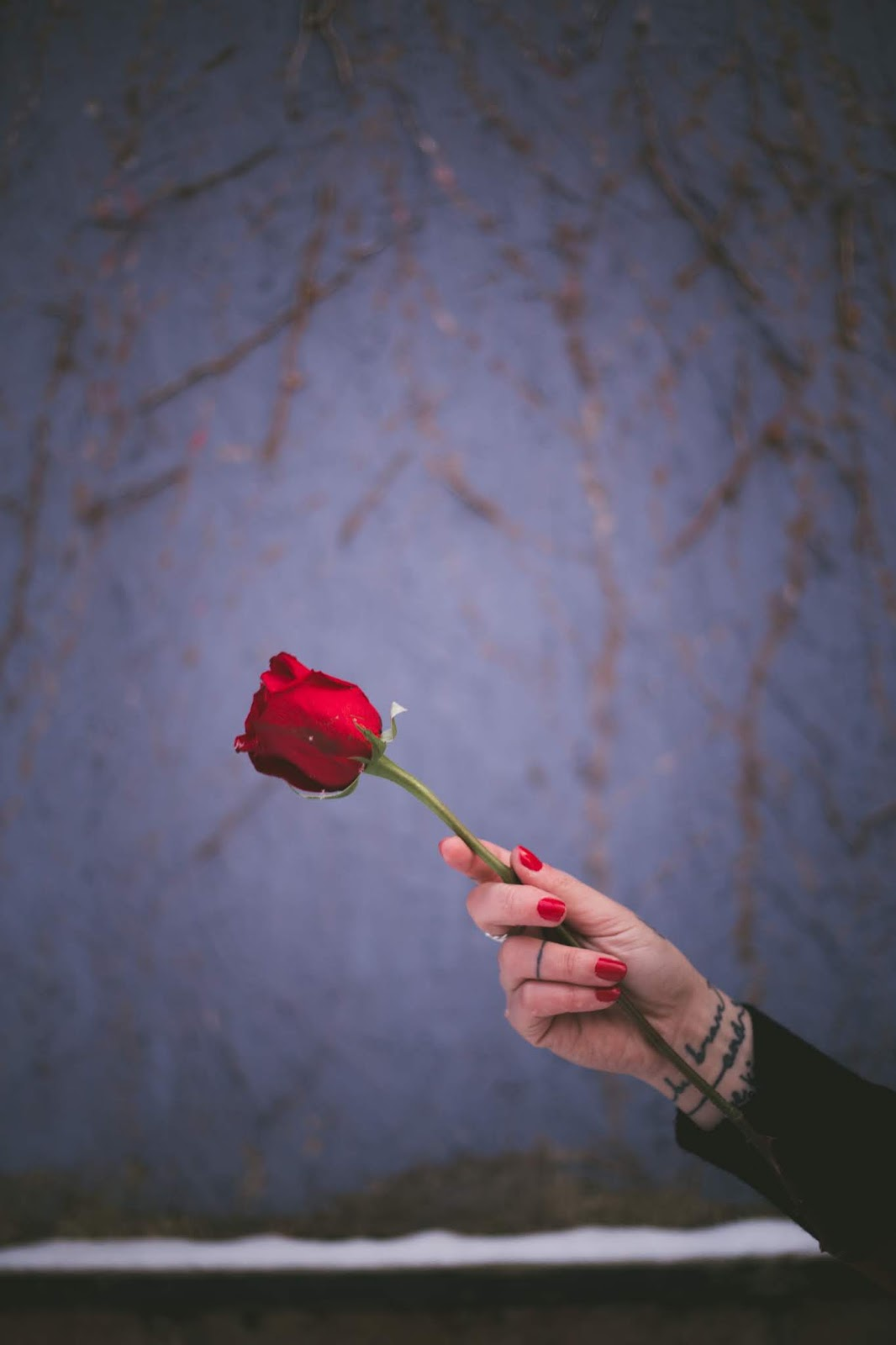 person holding red rose, rose images