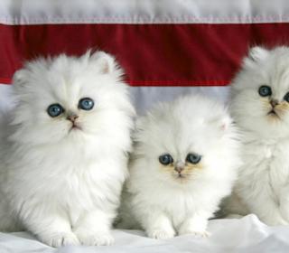 4 Faktor Yang Mempengaruhi Harga Kucing Persia dan Anggora