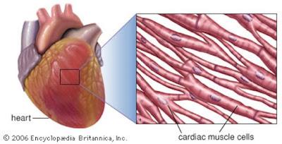 gambar otot jantung beserta ciri dan fungsinya