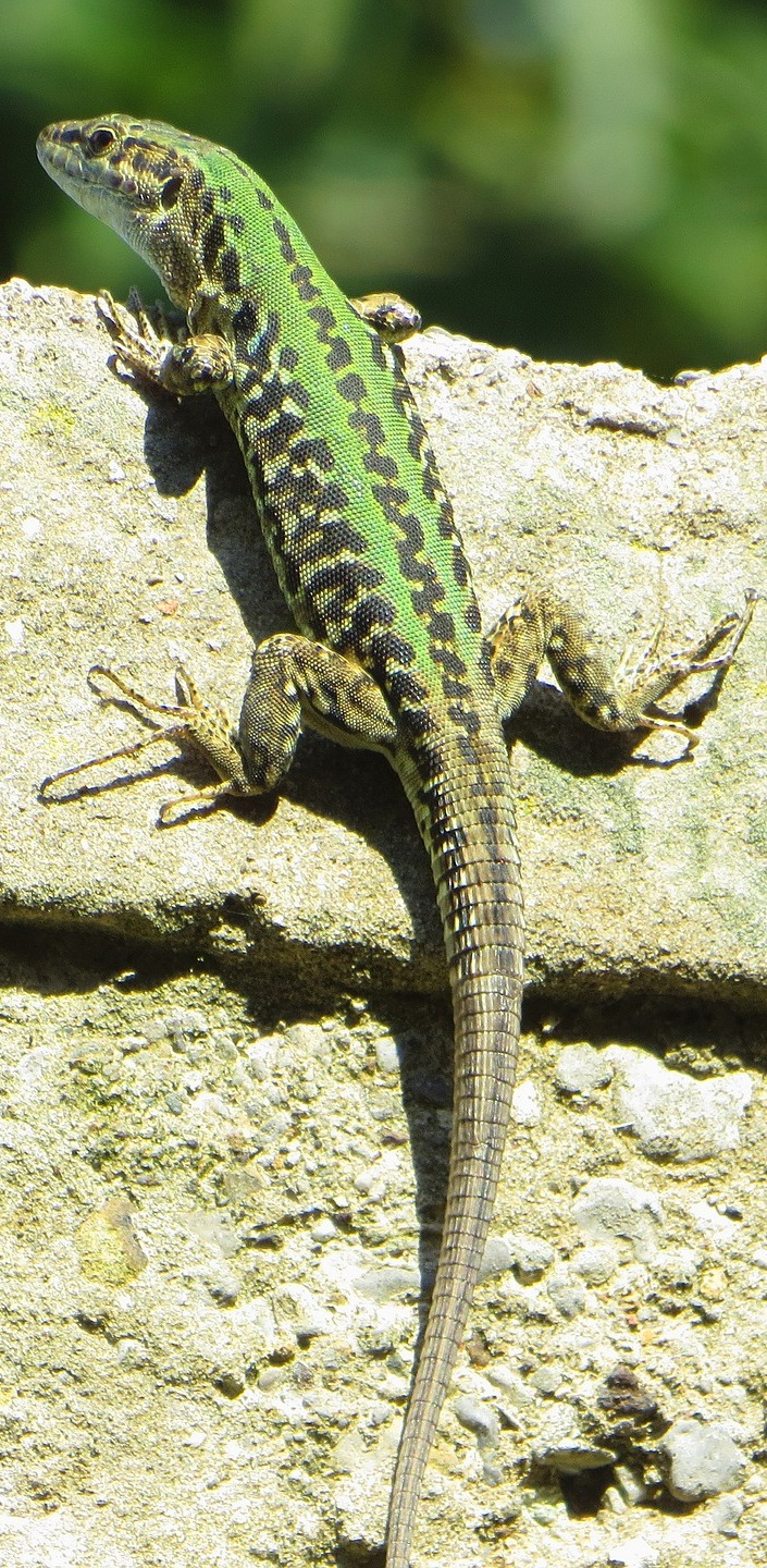 A green lizard climbing a wall.