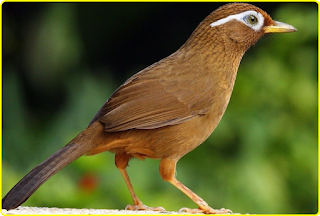 Burung Hwa Mei, Jenis Burung Berkicau