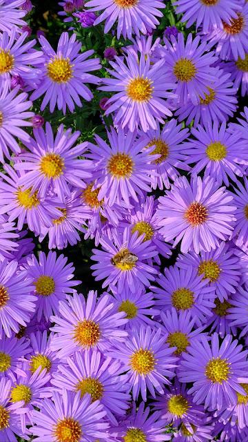 Wallpaper Symphiotrichum, Purple Flowers, Garden