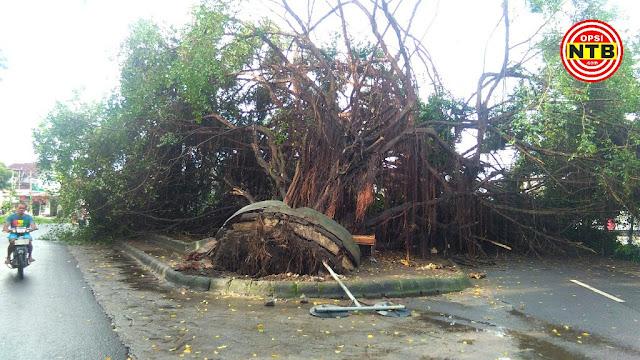 Pohon Beringin Tumbang di Selong, Tak Ada Korban Jiwa
