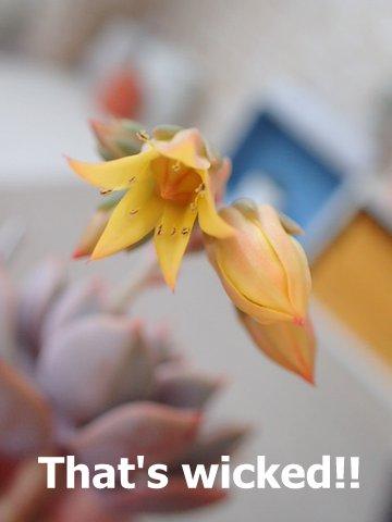 多肉 グラプトべリア ピンクプリティー 花