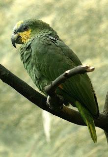 Amazona amazonica - Amazone aourou