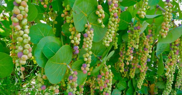 Buah Anggur Laut (Coccoloba uvifera)