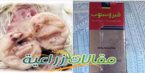 مرض الجمبورو فى الدجاج علاجه و أعراضه والوقاية منه - مقالات زراعية