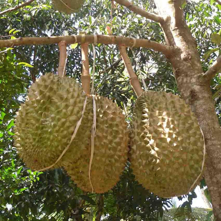 Bibit Tanaman Buah Durian Petruk Kalimantan Tengah