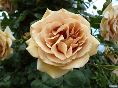 ベージュ色の薔薇