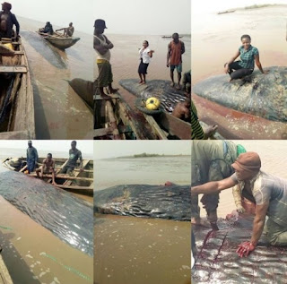 Nigerians Kill And Butcher Stranded Whale In Ese-odo, Ondo State (SEE PHOTOS)