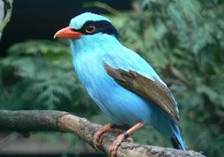 Suara Burung Ekek Keling