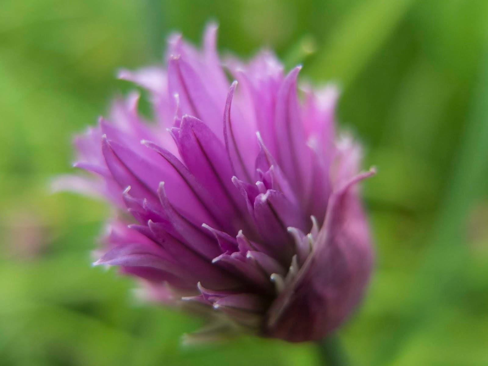 Macro of a purple Chive flower head.