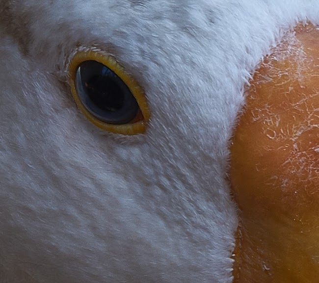 goose,eye,closeup, photography