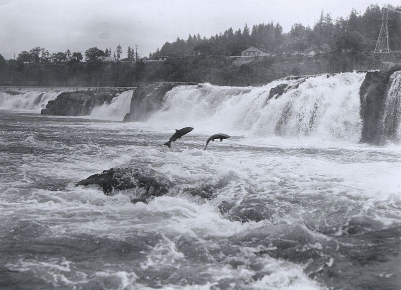 Leaping pacific salmon Wikipedia Commons