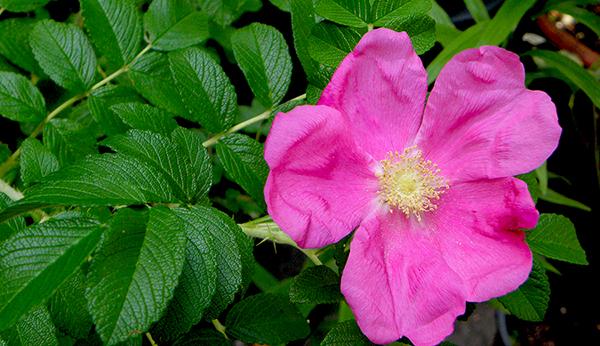 Bright pink rugosa rose