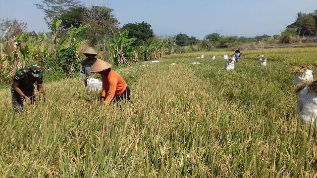 Babinsa Koramil 23/Ceper Bersama Petani Memotong Padi