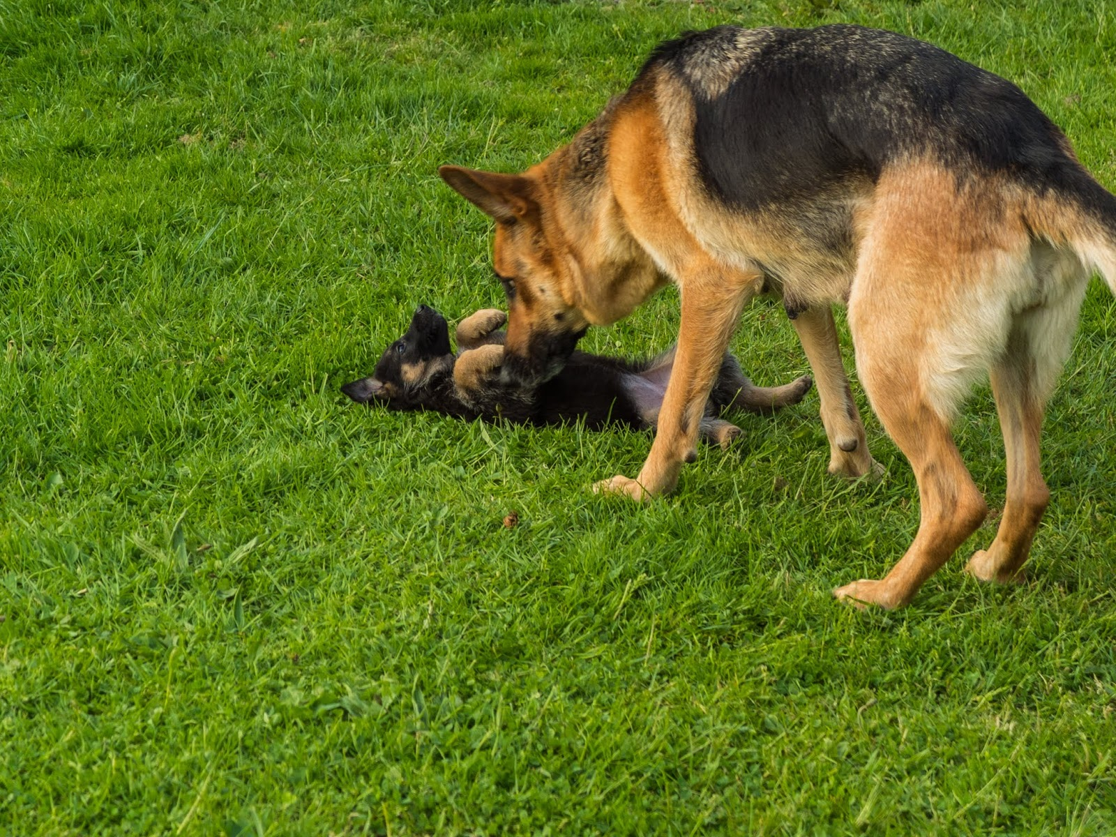 A German Shepherd mom inspecting her puppy on the grass.