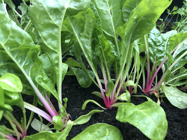 Stems of pink chard